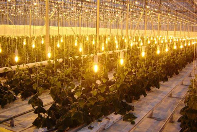 Лампы накаливания в теплице
